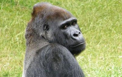 gorilla-1245365_1280.jpg