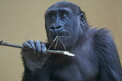 gorilla-1464010_1280.jpg