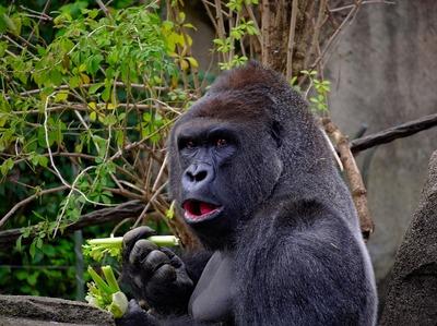 gorilla-1547124_1280.jpg