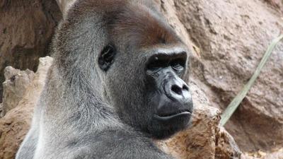 gorilla-177664_1280.jpg
