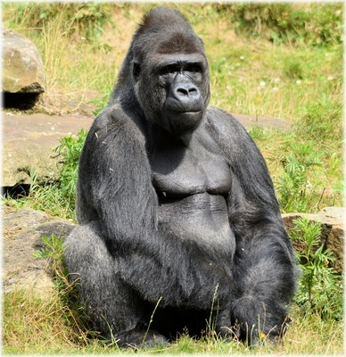 gorilla-214829_1280.jpg