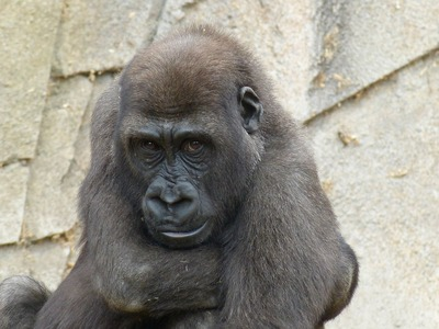 gorilla-233342_1280.jpg