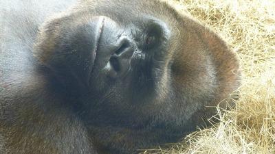 gorilla-65541_1280.jpg
