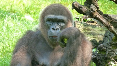 gorilla-65545_1280.jpg