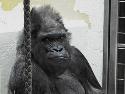 gorilla-815047_1280.jpg