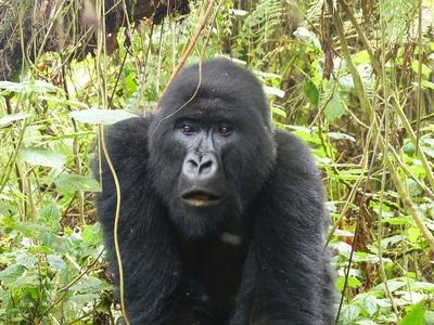 gorilla-818023_1280.jpg