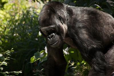 gorilla-841596_1280.jpg