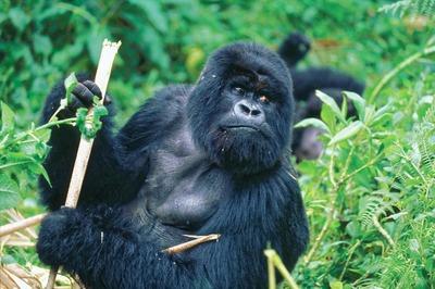 gorilla-937034_1280.jpg