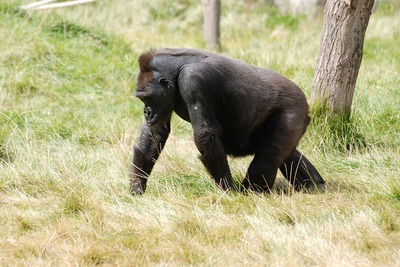 mountain-gorilla-416771_1280.jpg