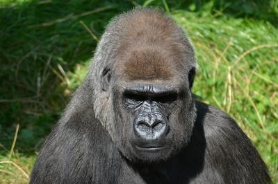 silverback-gorilla-271002_1280.jpg