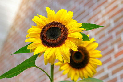 sunflower-448654_1280.jpg