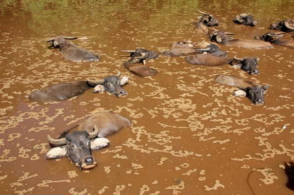 water-buffalo-1046659_1280.jpg
