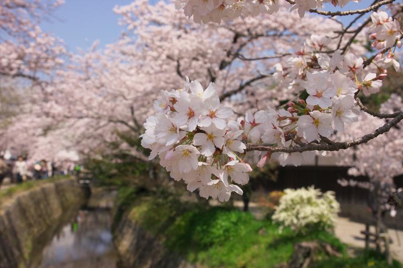 哲学の道 満開の桜