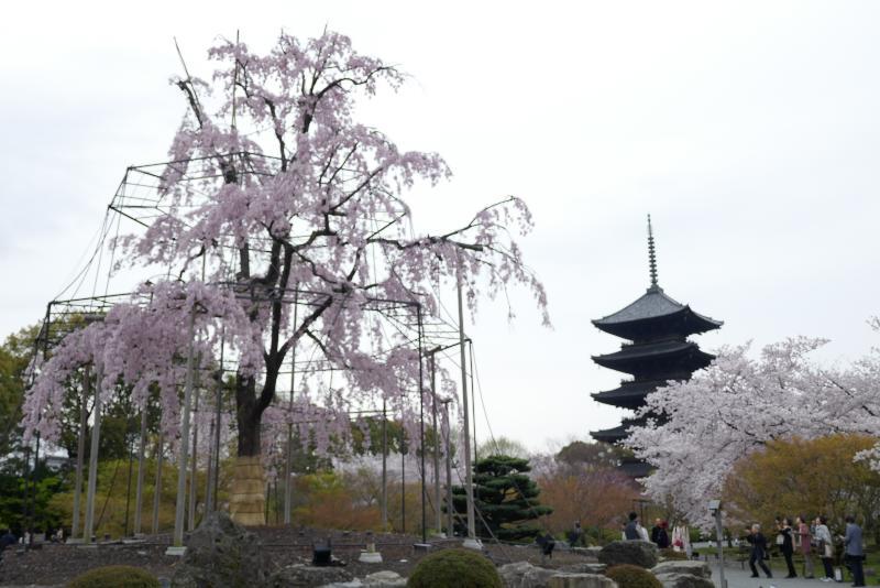 東寺 五重塔と枝垂れ桜