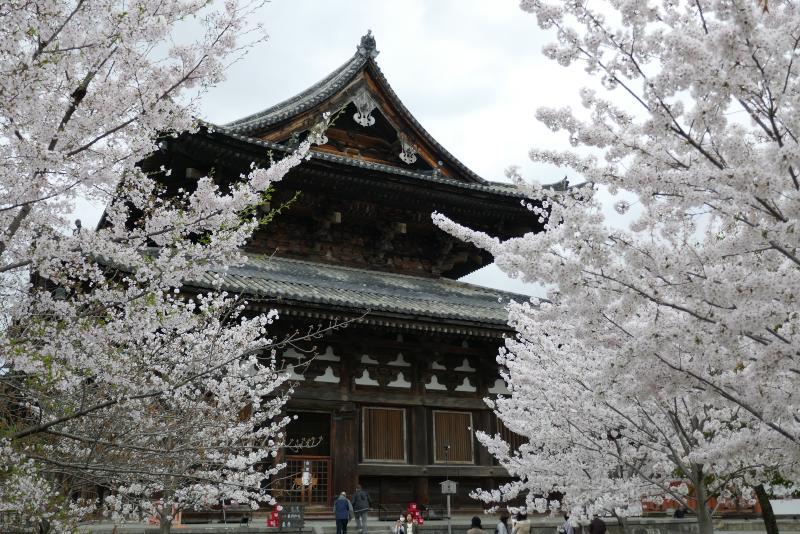 東寺 金堂 桜