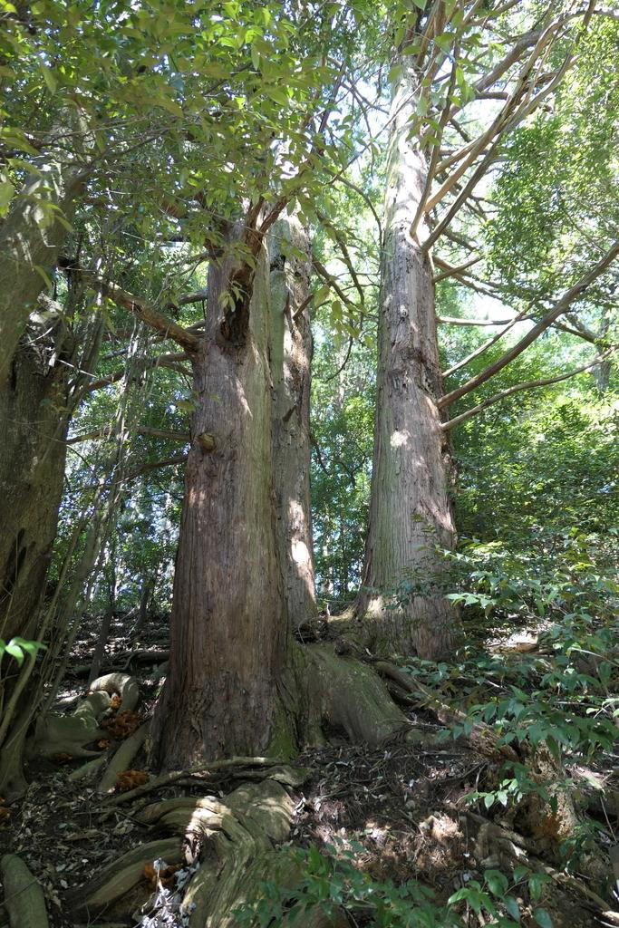 自害峰の三本杉