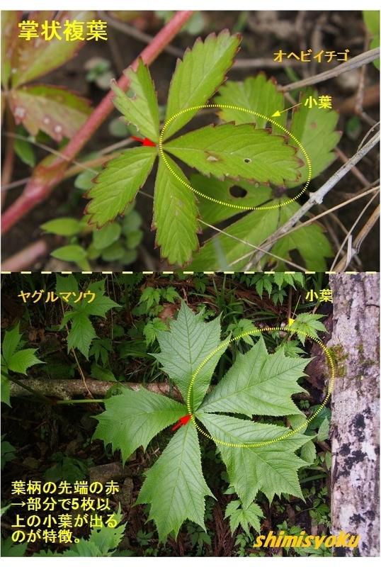 葉の形について(その1) - 身近な自然もいいね!