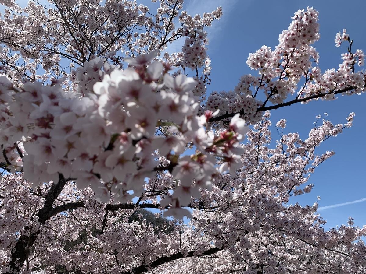 天童公園の桜