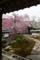 枝垂桜 満開(恵光院:坂本)