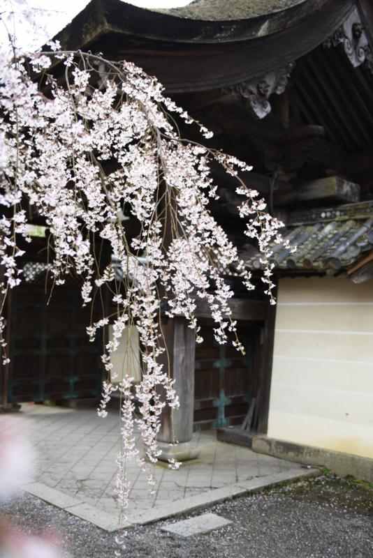 枝垂れ桜 (毘沙門堂:京都)