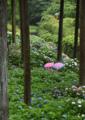 雨の紫陽花園(三室戸寺)
