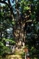 [青森県][弘前市][弘前城][弘前公園]ネズコ(推定樹齢500年以上)