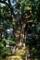 ネズコ(推定樹齢500年以上)