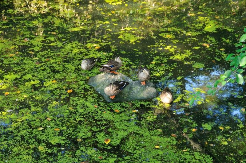 外濠で戯れる鴨