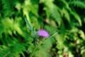 [秋田県][大館市][長走風穴高山植物群落][国指定天然記念物]アザミに止まるセセリチョウ
