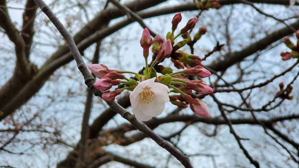 ヴェルニー公園の桜