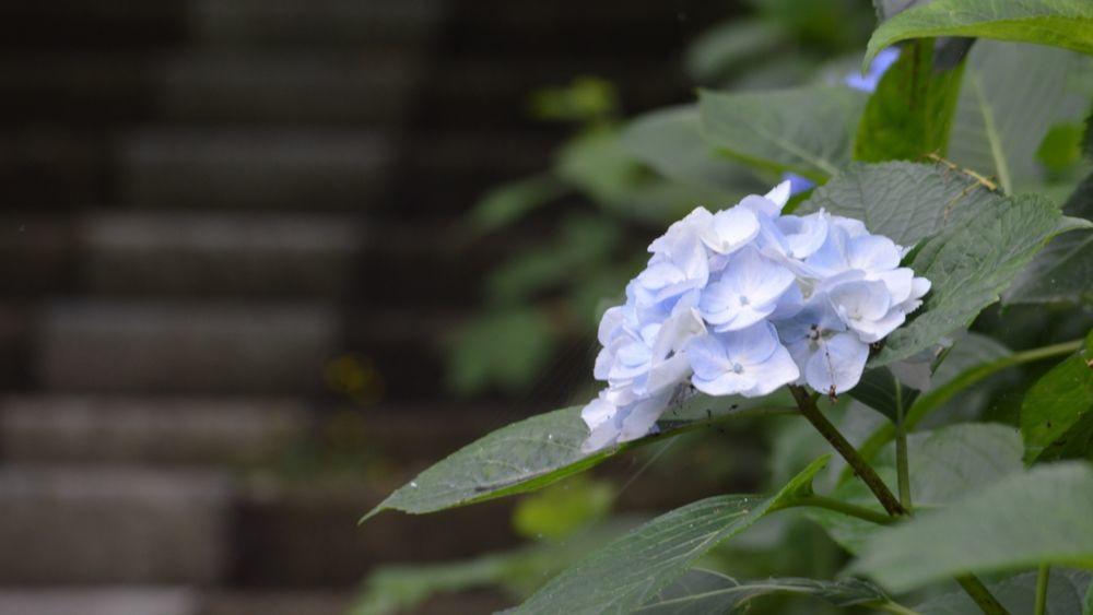 観音崎公園の紫陽花