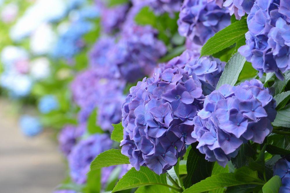 横須賀美術館近くの紫陽花