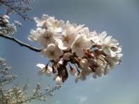 2008年3月、小石川植物園の桜