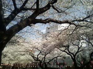 2008年3月、播磨坂の桜