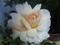 雨後の薔薇