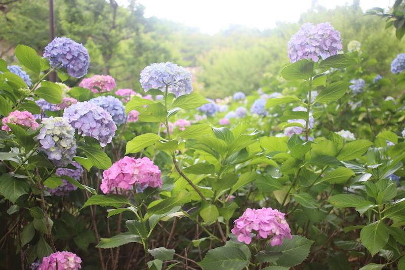 京都 智積院である「あじさい苑」の様子を紹介