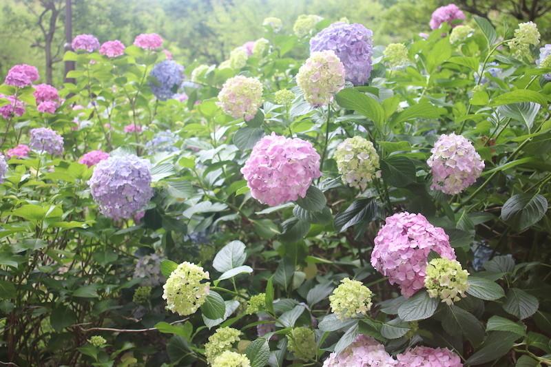 京都智積院の紫陽花は今まで見た中で1番綺麗かも