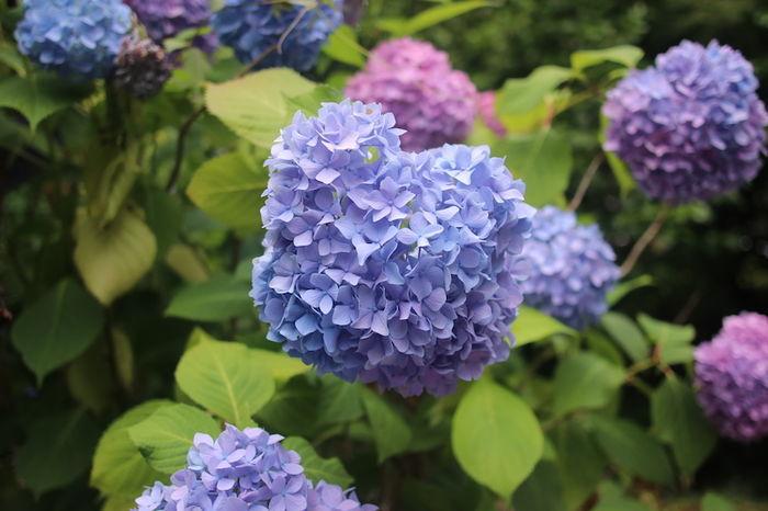 智積院 紫陽花