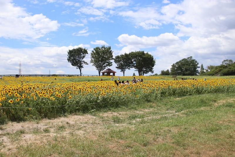 愛知牧場 夏の風物詩 綺麗に輝くひまわりが見れる場所に到着