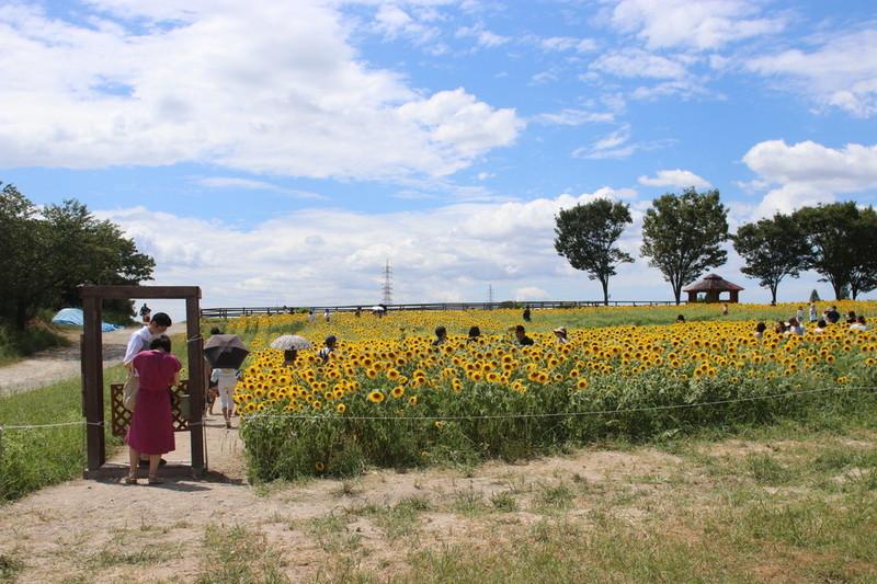 愛知牧場 輝く綺麗なひまわり畑が現れた