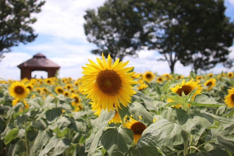 愛知牧場 夏の必見スポットひまわりが1番綺麗に見える牧場へ行ってみた