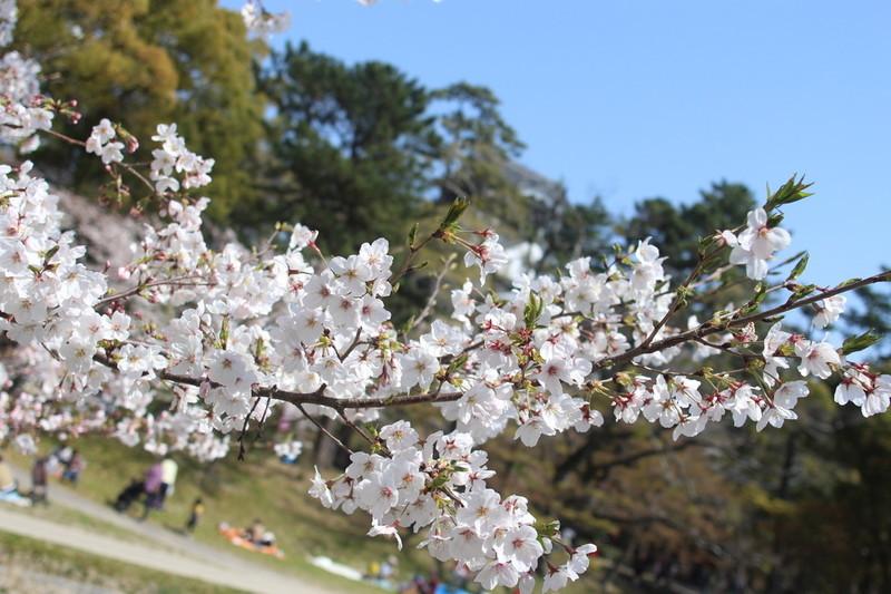 日本の風物詩桜の風景