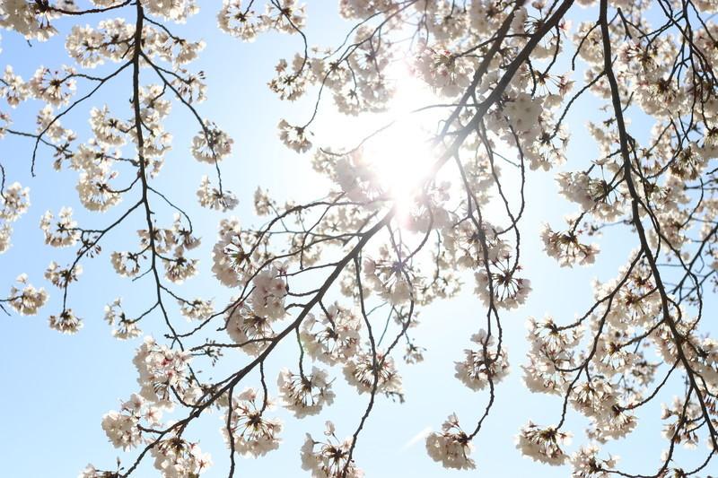 来年こそはコロナで自粛することなく平和に桜祭りで花見をしたいね