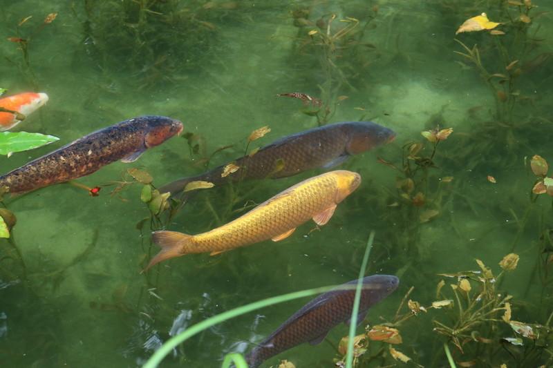 岐阜 モネの池 見れたら金運UPするかも⁉︎金色の鯉がいる