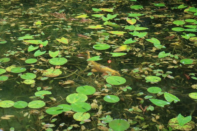 岐阜 モネの池 黄金の鯉