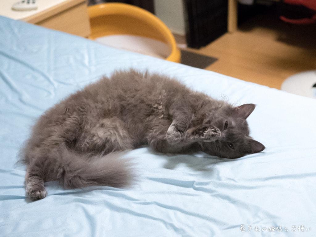 猫写真ラパーマ・ベッドで毛づくろいをする紫苑さん2