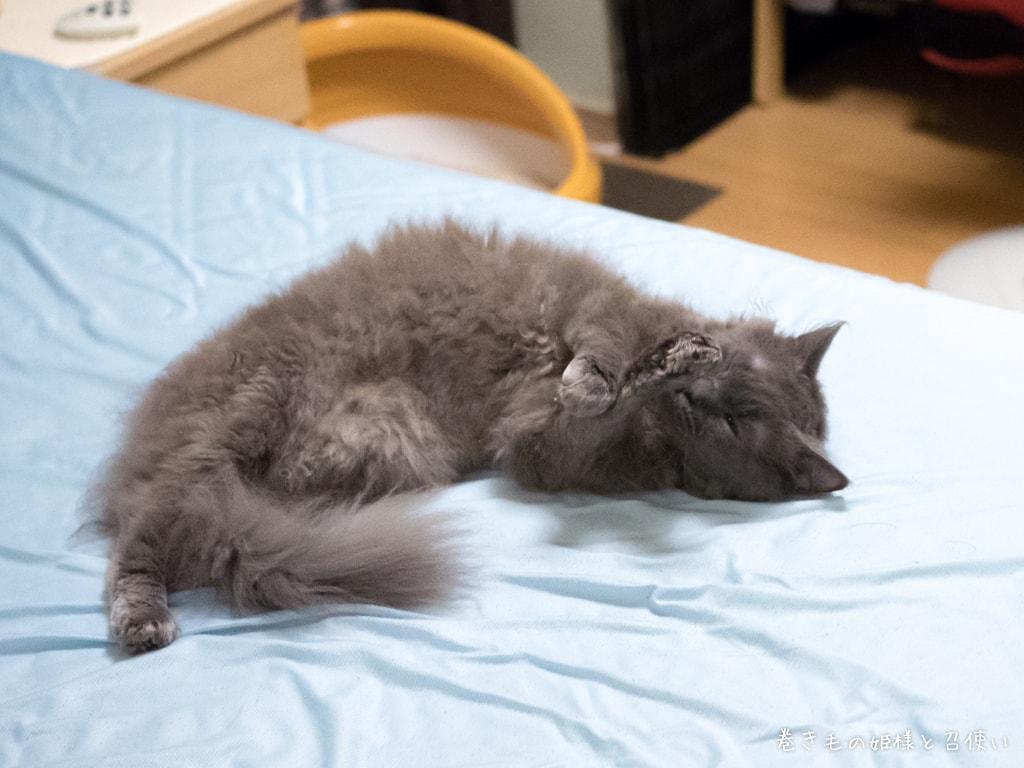 猫写真ラパーマ・ベッドで毛づくろいする紫苑さん3