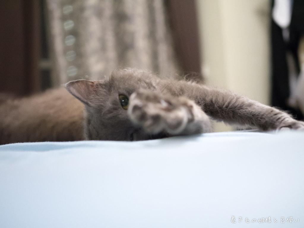 猫写真ラパーマ・ベッドに転がる天使