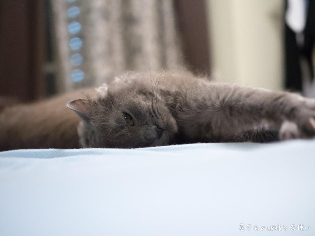 猫写真ラパーマ・ベッドに転がる天使3