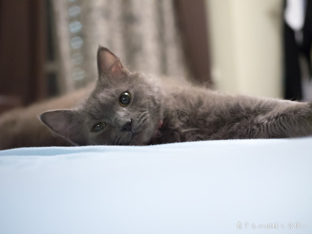猫写真ラパーマ・ベッドに転がる天使5